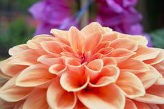 Primo piano di una dalia arancio e rossa Fotografia Stock