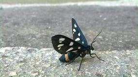 Primo piano di una farfalla bianca e gialla del nero, Immagine Stock Libera da Diritti