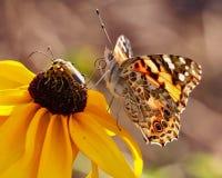 Primo piano di una farfalla dipinta di signora che si siede su Susan Flower dagli occhi castani fotografia stock libera da diritti