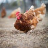 Primo piano di una gallina in un cortile Fotografia Stock