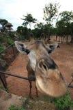 Primo piano di una giraffa divertente Fotografia Stock
