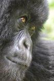 Primo piano di una gorilla della montagna Fotografia Stock