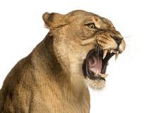 Primo piano di una leonessa che rugge, panthera Leo, 10 anni fotografia stock libera da diritti