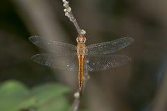 Primo piano di una libellula arancione Fotografia Stock Libera da Diritti