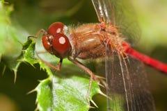 Primo piano di una libellula rossa Fotografia Stock Libera da Diritti