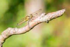 Primo piano di una libellula su un ramo Immagine Stock