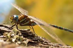Primo piano di una libellula variopinta su un albero immagine stock