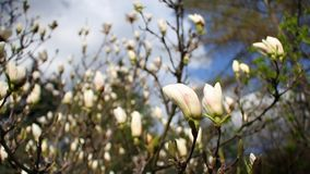 Primo piano di una magnolia bianca di fioritura in un giardino botanico contro un cielo blu archivi video