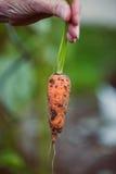 Primo piano di una mano che tiene una carota raccolta Fotografia Stock