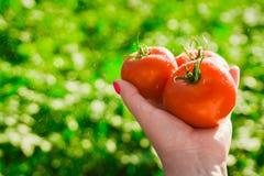 Primo piano di una mano del ` s dell'agricoltore che tiene tre pomodori maturi rossi su un fondo dei verdi vaghi Fotografie Stock