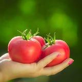 Primo piano di una mano del ` s dell'agricoltore che tiene tre pomodori maturi rossi su un fondo dei verdi vaghi Fotografia Stock