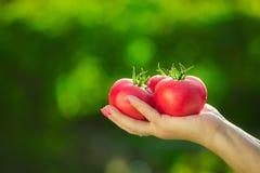 Primo piano di una mano del ` s dell'agricoltore che tiene tre pomodori maturi rossi su un fondo dei verdi vaghi Immagini Stock Libere da Diritti