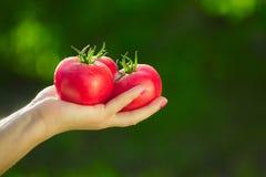 Primo piano di una mano del ` s dell'agricoltore che tiene tre pomodori maturi rossi su un fondo dei verdi vaghi Fotografie Stock Libere da Diritti