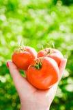 Primo piano di una mano del ` s dell'agricoltore che tiene tre pomodori maturi rossi su un fondo dei verdi vaghi Immagini Stock