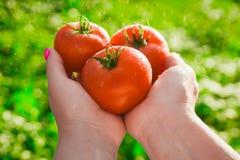 Primo piano di una mano del ` s dell'agricoltore che tiene tre pomodori maturi rossi su un fondo dei verdi vaghi Fotografia Stock Libera da Diritti