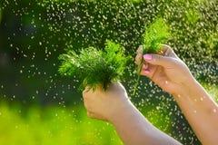 Primo piano di una mano del ` s dell'agricoltore che tiene un mazzo di aneto verde fresco su un fondo dei verdi lavati Fotografie Stock