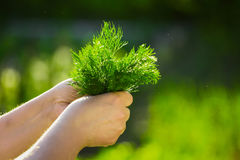 Primo piano di una mano del ` s dell'agricoltore che tiene un mazzo di aneto verde fresco su un fondo dei verdi lavati Immagini Stock