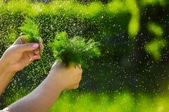 Primo piano di una mano del ` s dell'agricoltore che tiene un mazzo di aneto verde fresco su un fondo dei verdi lavati Fotografia Stock