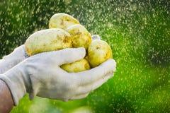 Primo piano di una mano del ` s dell'agricoltore che tiene una giovane patata su un fondo dei verdi lavati Immagini Stock