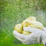 Primo piano di una mano del ` s dell'agricoltore che tiene una giovane patata su un fondo dei verdi lavati Fotografia Stock Libera da Diritti