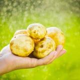 Primo piano di una mano del ` s dell'agricoltore che tiene una giovane patata su un fondo dei verdi lavati Immagine Stock Libera da Diritti