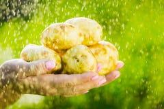 Primo piano di una mano del ` s dell'agricoltore che tiene una giovane patata su un fondo dei verdi lavati Fotografia Stock