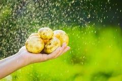Primo piano di una mano del ` s dell'agricoltore che tiene una giovane patata su un fondo dei verdi lavati Immagini Stock Libere da Diritti