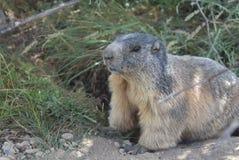 Primo piano di una marmotta Immagini Stock