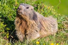Primo piano di una marmotta alpina sembrante curiosa nelle alpi europee Fotografia Stock Libera da Diritti