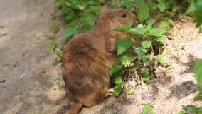 Primo piano di una marmotta munita nera che mangia le foglie da alcune piante verdi, roditore che alimenta il suo auto nel selvag archivi video