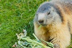 Primo piano di una marmotta socievole Immagine Stock