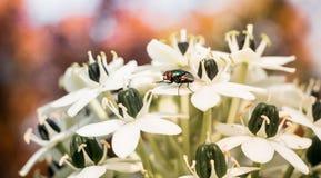 Primo piano di una mosca che si siede sul fiore di un fiore fotografie stock