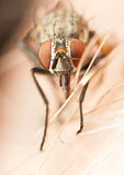 Primo piano di una mosca con l'occhi rossi Fotografie Stock