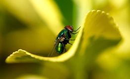 Primo piano di una mosca su una foglia verde Fotografie Stock