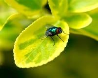 Primo piano di una mosca su una foglia verde Fotografia Stock Libera da Diritti