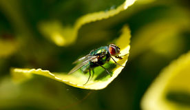 Primo piano di una mosca su una foglia verde Royalty Illustrazione gratis