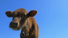 Primo piano di una mucca video d archivio