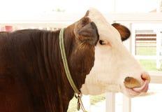 Primo piano di una mucca dell'Holstein Fotografie Stock Libere da Diritti
