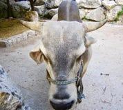 Primo piano di una mucca fotografia stock libera da diritti