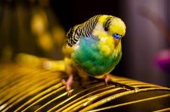 Primo piano di una museruola di un uccello ondulato del pappagallo con un fondo vago mughum immagine stock