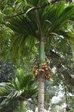 Primo piano di una palma con le arance succose in un giardino a Hanoi, Vietnam, Asia fotografia stock libera da diritti