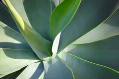 Primo piano di una pianta dell'agave Immagine Stock