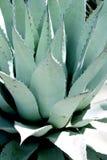 Primo piano di una pianta di secolo dell'agave Immagine Stock