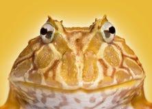 Primo piano di una rana cornuta dell'Argentina che affronta, ornata di Ceratophrys fotografia stock