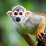 Primo piano di una scimmia di scoiattolo comune Fotografie Stock