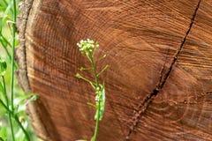 Primo piano di una sezione trasversale di un albero tagliato, trovantesi in un prato di erba verde, mostrante gli anelli di anno fotografia stock libera da diritti