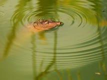 Primo piano di una tartaruga di Softshell Fotografie Stock Libere da Diritti
