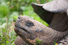 Primo piano di una tartaruga gigante di Galapagos fotografia stock libera da diritti