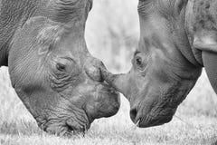 Primo piano di una testa bianca di rinoceronte con pelle corrugata dura Immagine Stock