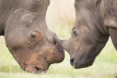 Primo piano di una testa bianca di rinoceronte con pelle corrugata dura Fotografia Stock